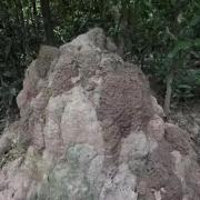 沉香知识:探秘野生沉香树,告诉你什么是蚁漏沉香,什么是虫漏沉香